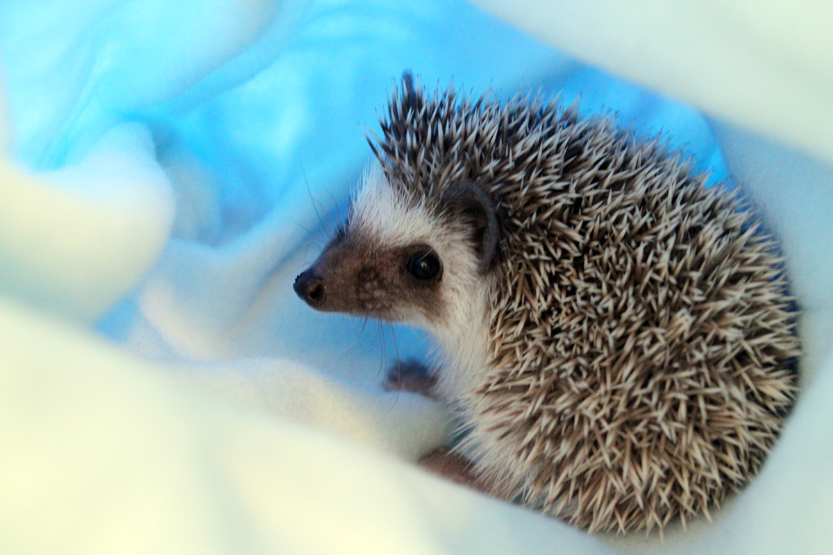 How to Care for African Pygmy Hedgehogs forecasting