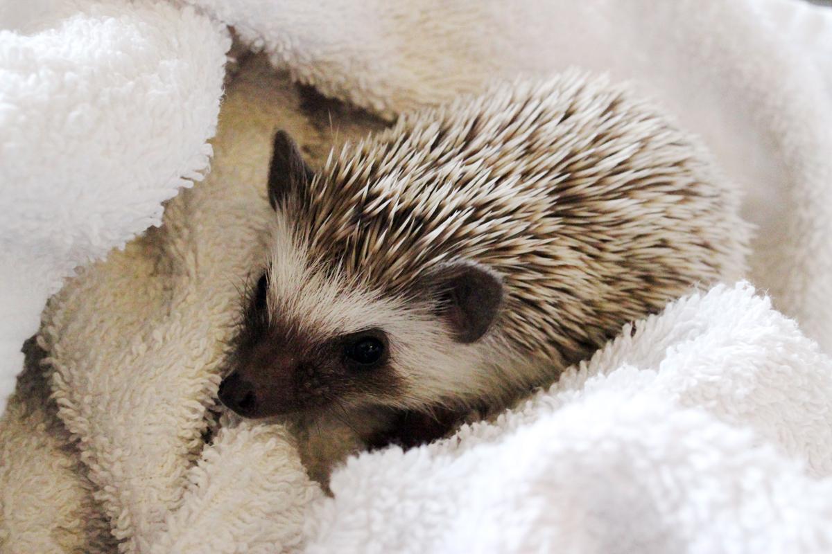 Herbert, the African Pygmy Hedgehog | Freddie's Fan Club